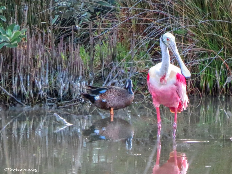 a blue-winged teal and a roseate spoonbill UD156