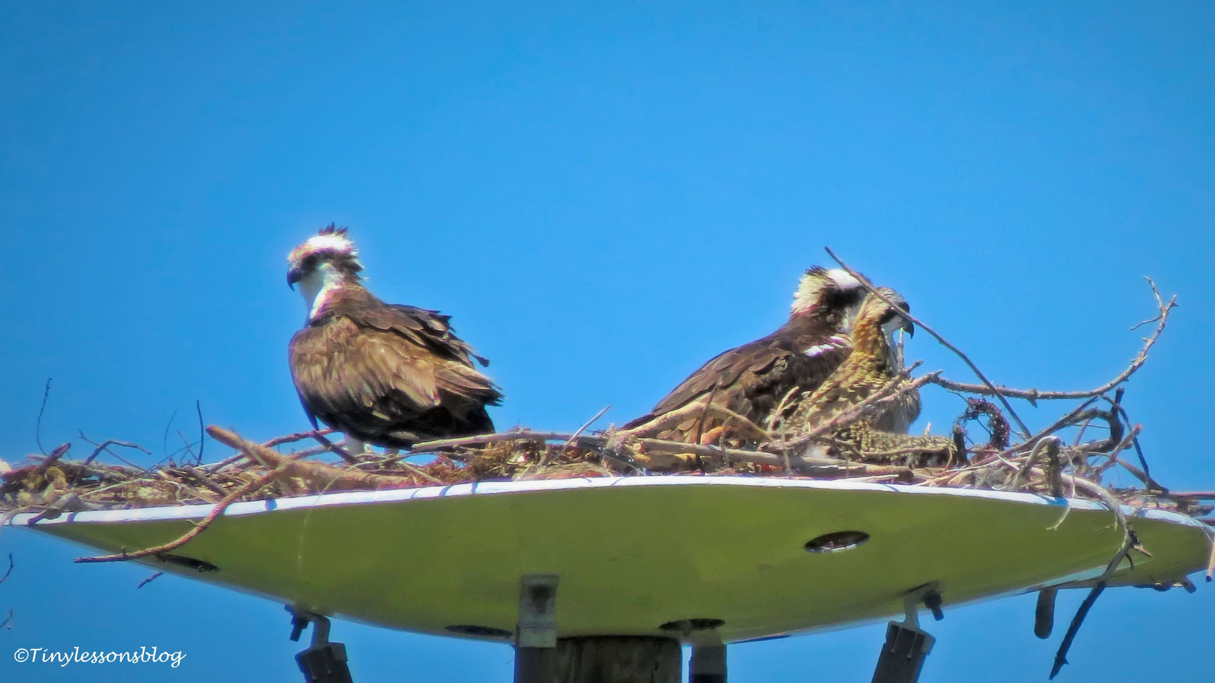 all three ospreys in the nest ud159