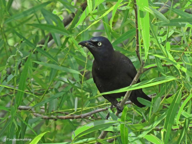 blackbird UD156