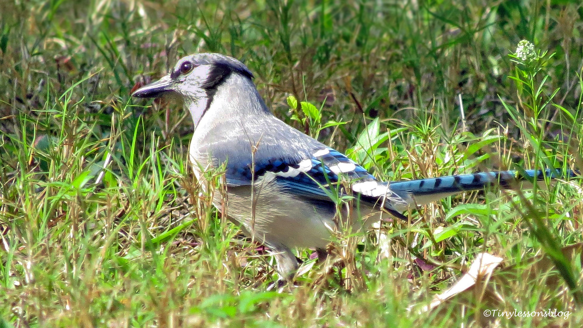 Blue jay in the grass UD157