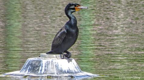 cormorant ud156