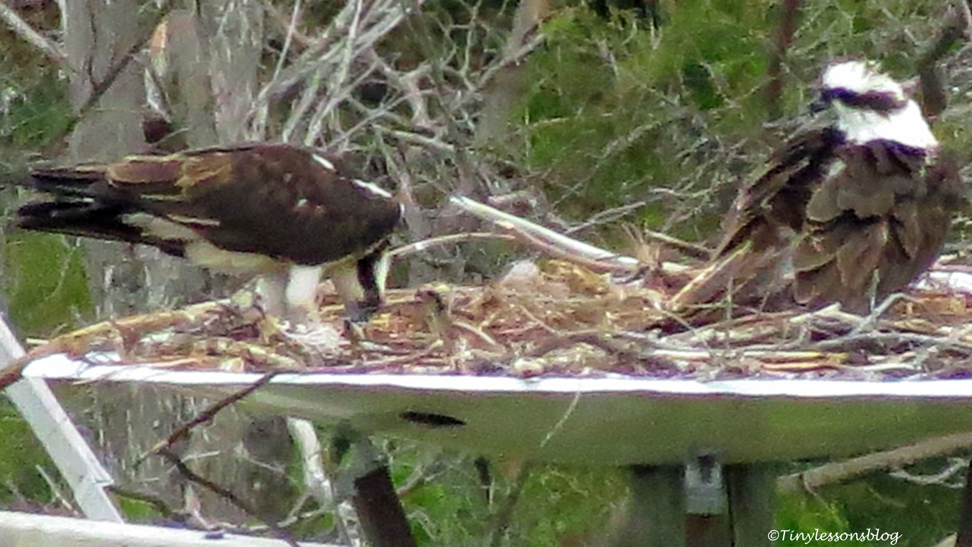 first osprey family portrait 2018 ud156
