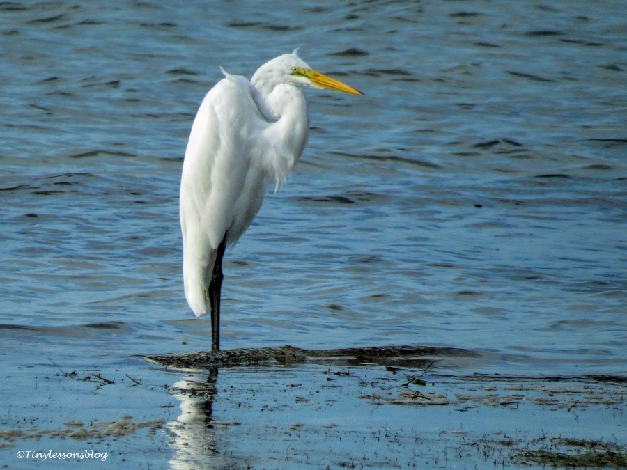 great egret on the bay side ud158