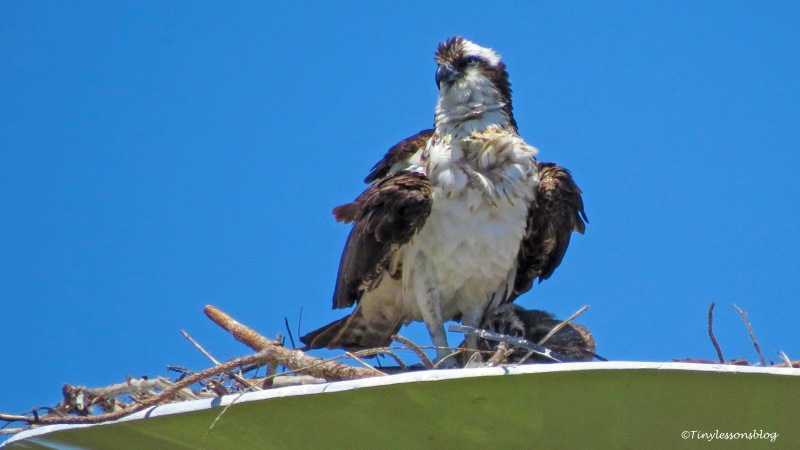 mama osprey and baby ud158