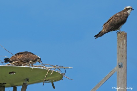 Mama osprey asks for more fish ud157