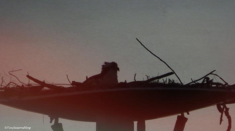 mama osprey at dusk ud158