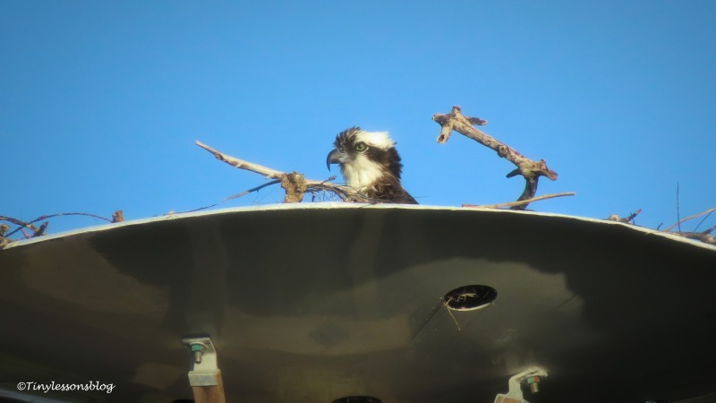 mama osprey at sunset ud159