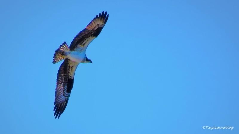 mama osprey in flight ud159