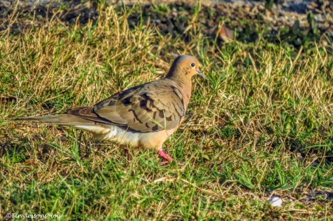 mourning dove ud158