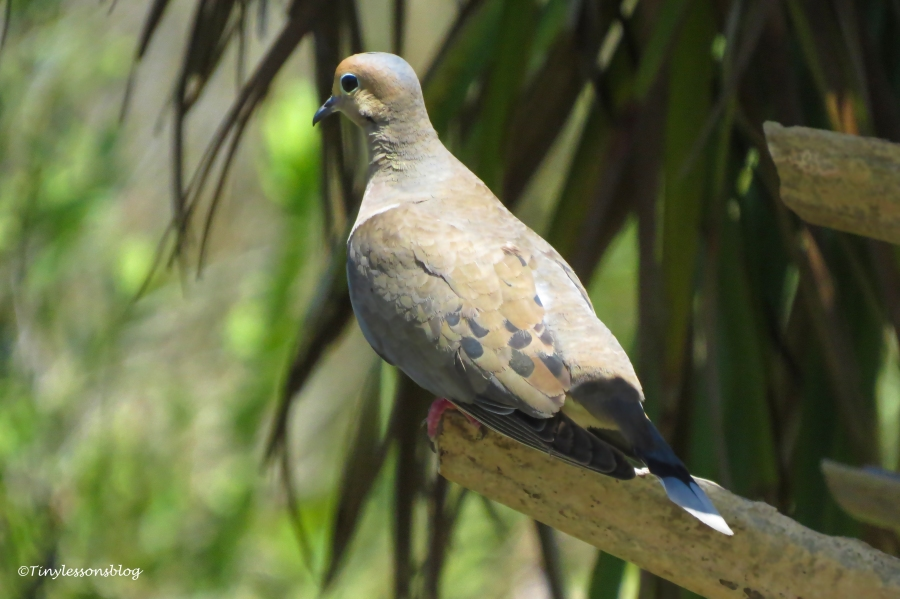 Mourning Dove ud159