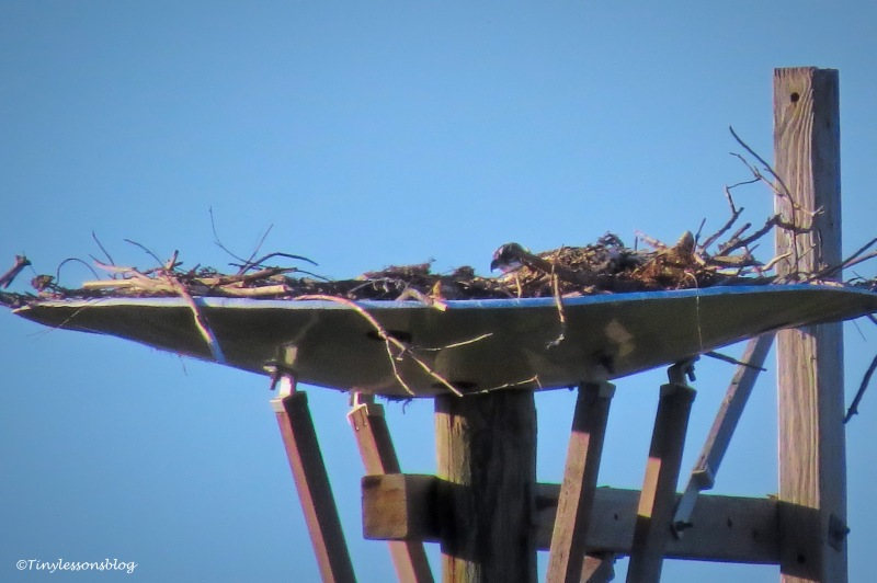 osprey chick alone in the nest ud159