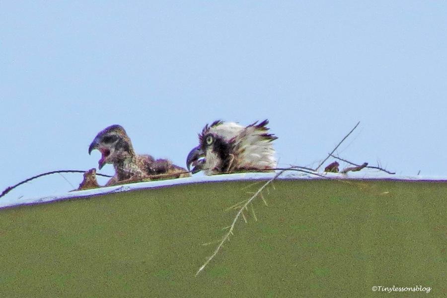 osprey chick ud157