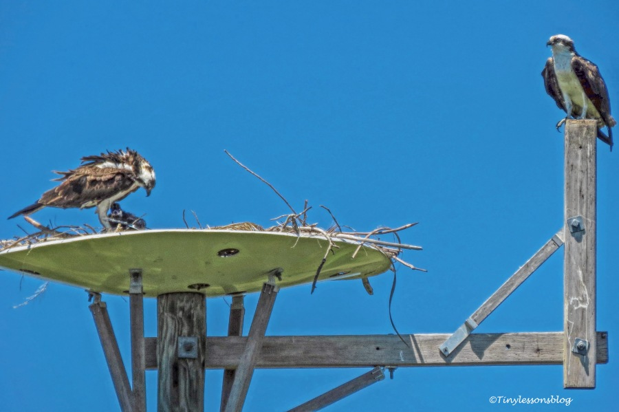 osprey family portrait 2 april 14 ud158