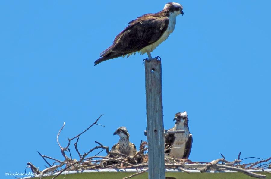 Osprey family ud159