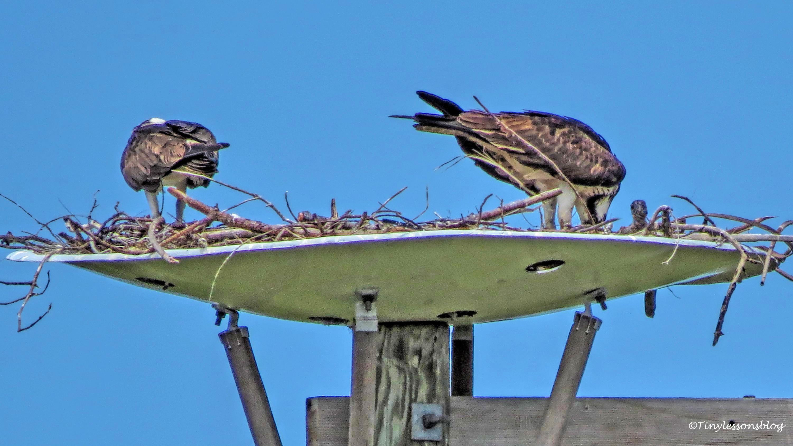 osprey family with chick ud157