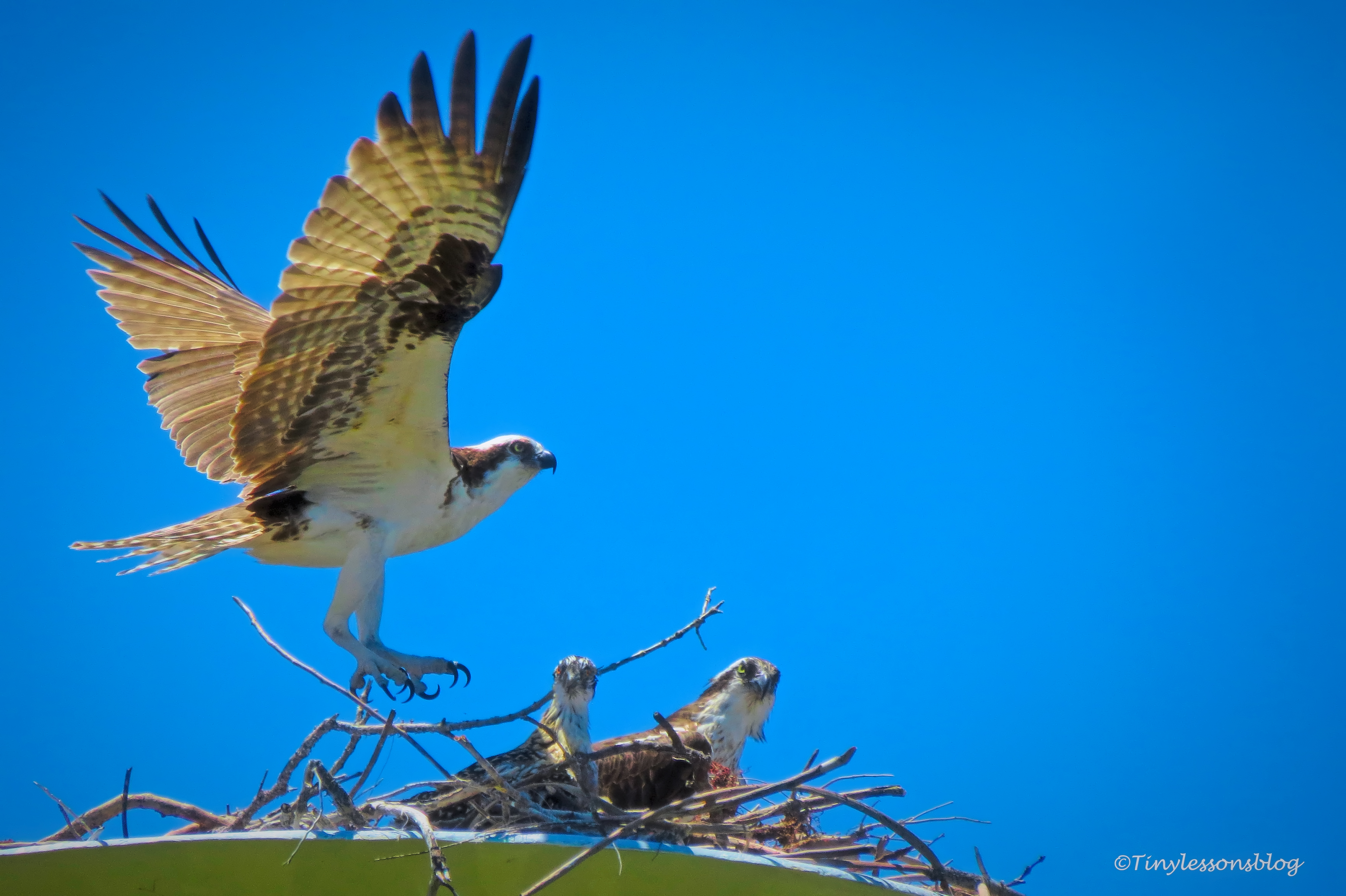 papa mama and osprey chick ud159