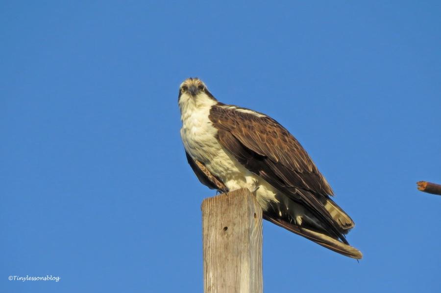Papa osprey at sunset ud158