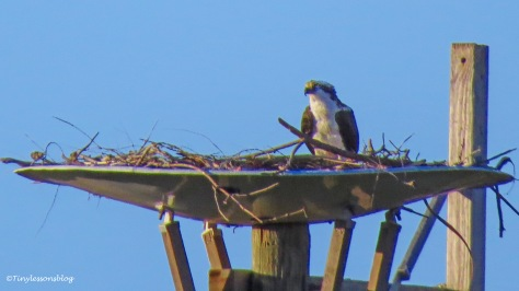 papa osprey at the nest ud156