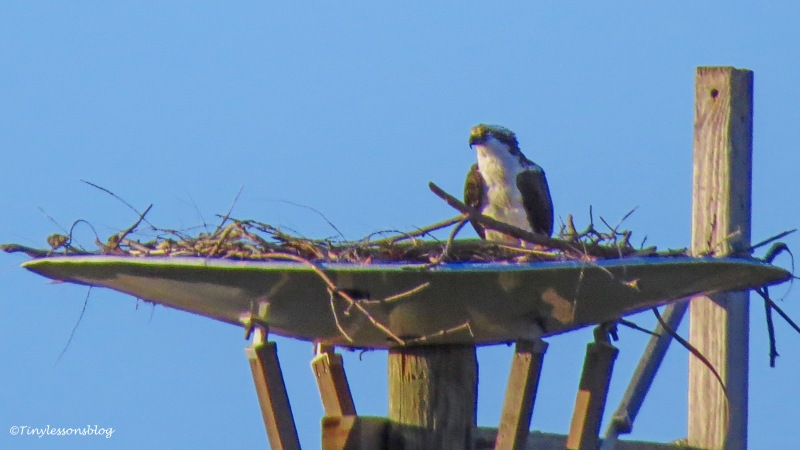 papa osprey at the nest ud156