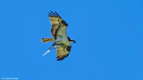 papa osprey brings a fish UD156