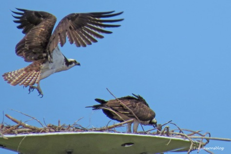Papa osprey flies to the perch ud157