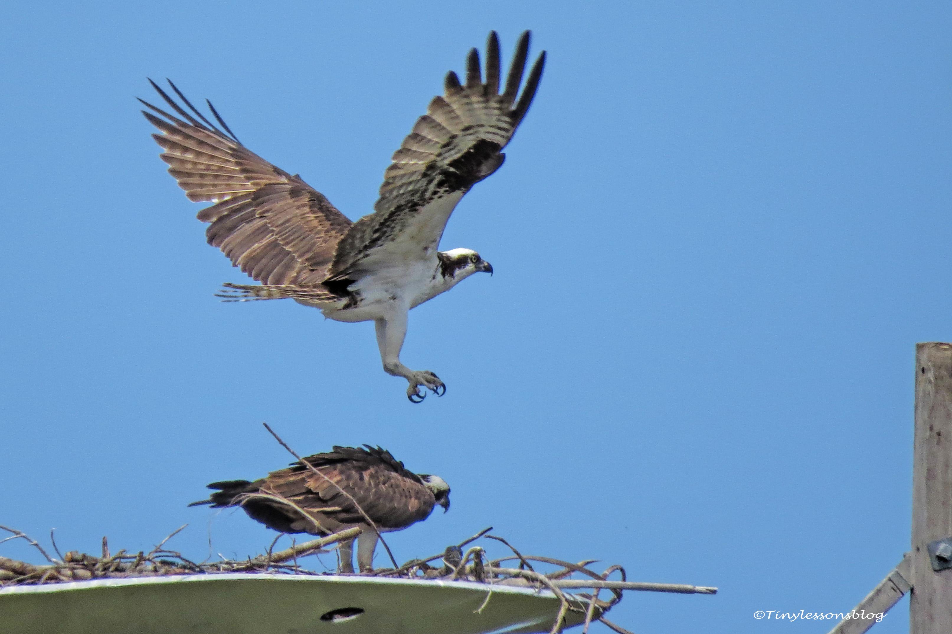 papa osprey flies UD157