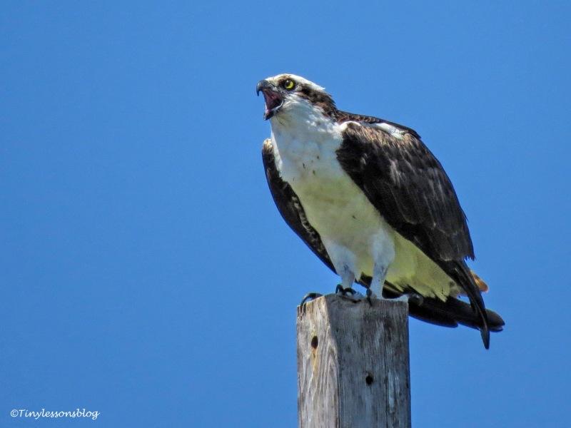 papa osprey sounds an alarm ud158