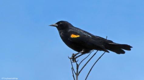 red-winged blackbird ud156