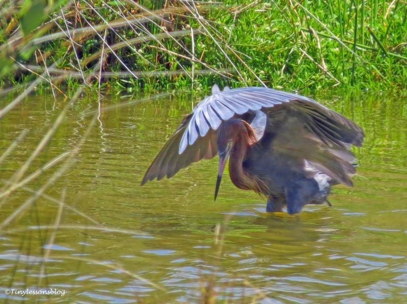 reddish egret 2 UD159