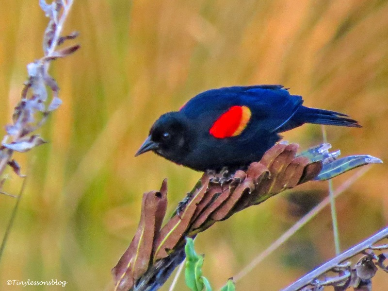 redwinged blackbird male UD158