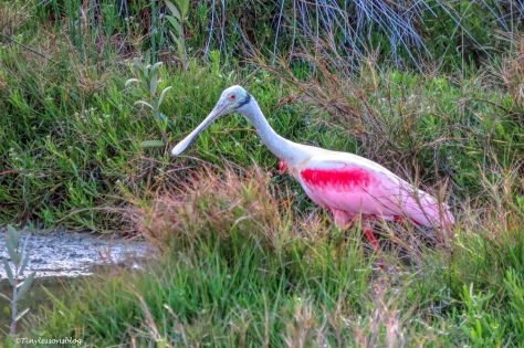 Roseate spoonbill at sunset ud156