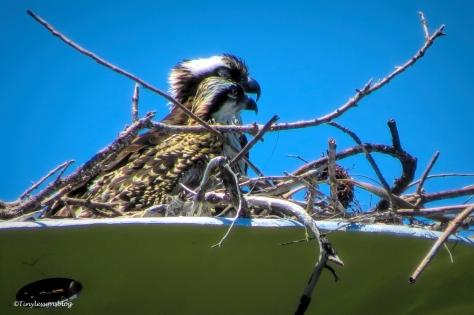 sandy and osprey chick ud159