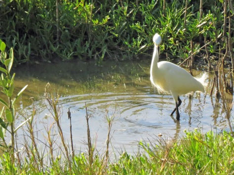 snowy egret at sunset ud158