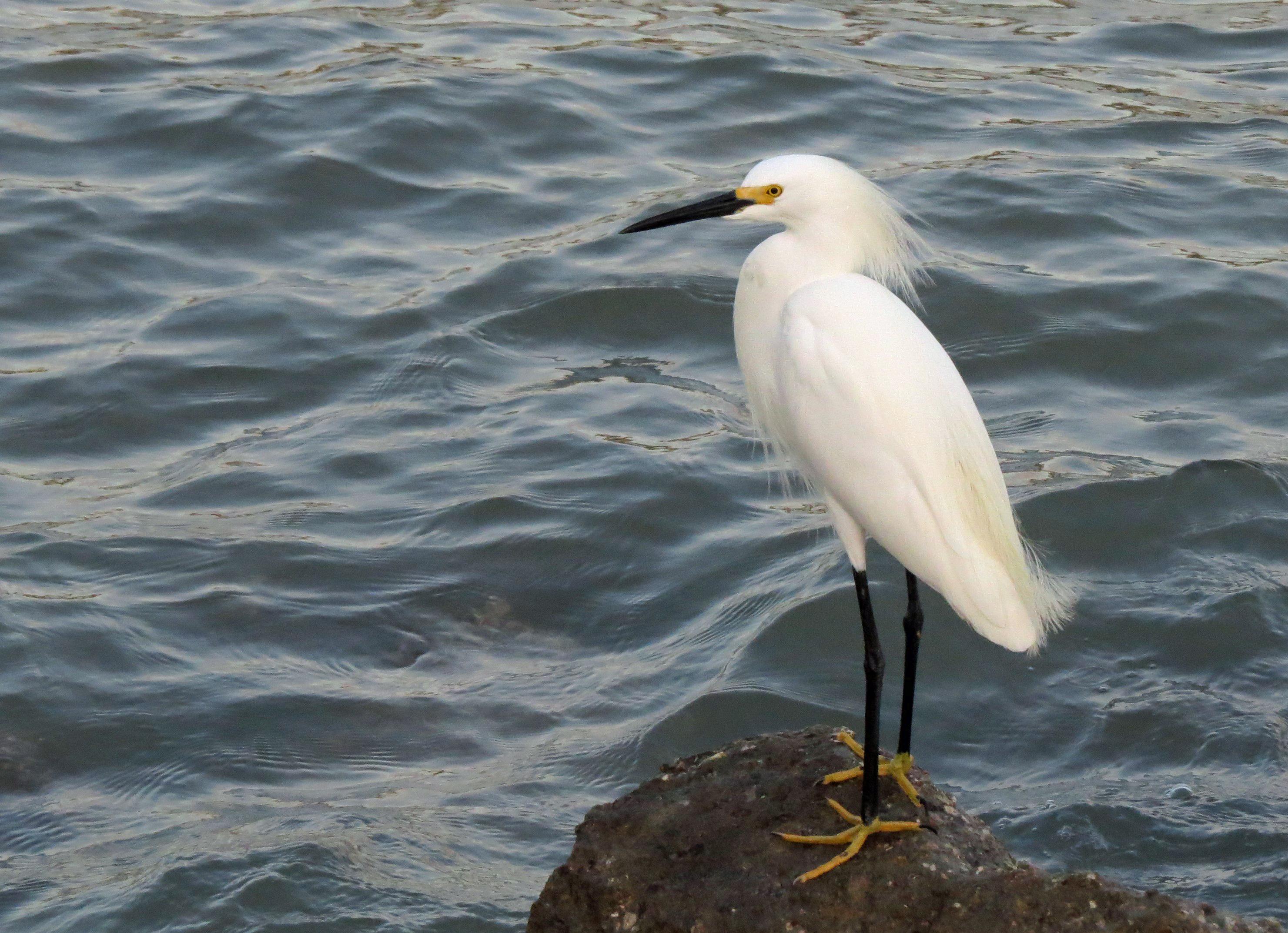 snowy egret ud156
