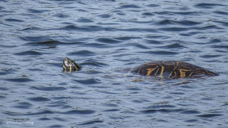 turtle swimming ud156