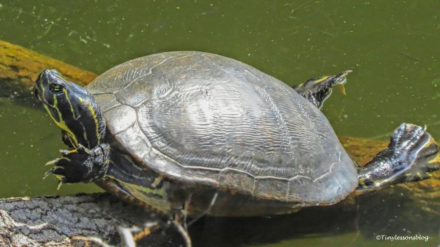 turtle ud156
