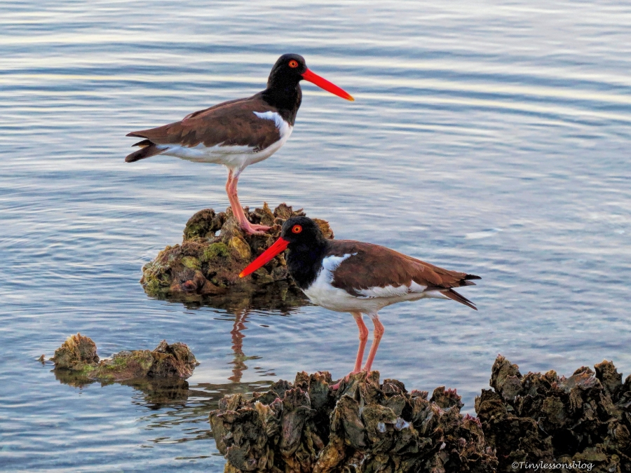 two Oyster catchers ud158
