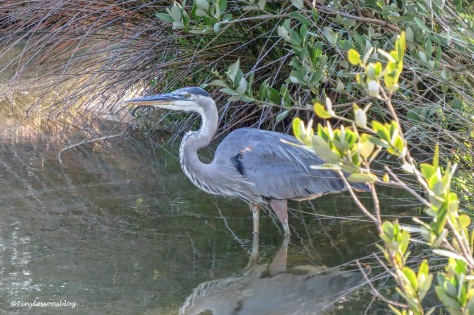 young great blue heron ud158