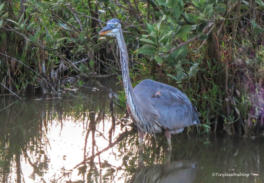 younger Great Blue Heron at sunset UD156