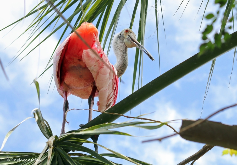 adult roseate spoonbill ud160