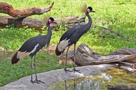 black crowned crane ud160
