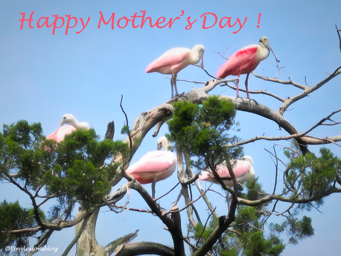 Happy Mothers Day Roseate Spoonbill ud160