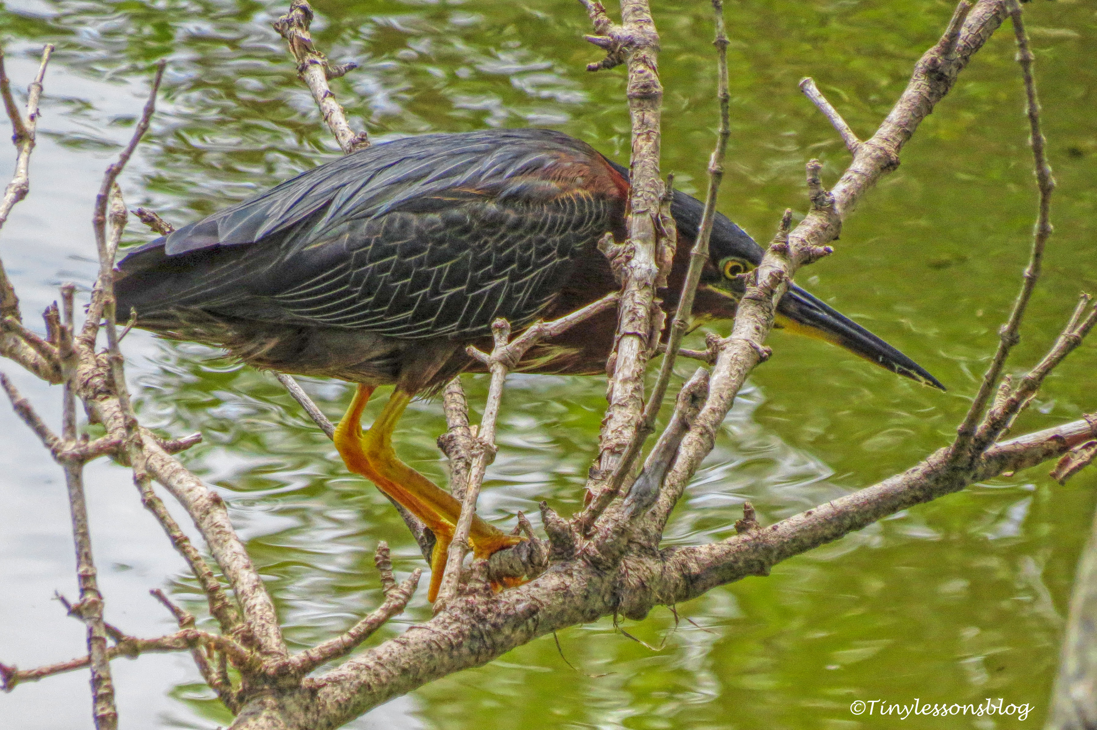 Juvenile Green Heron UD161