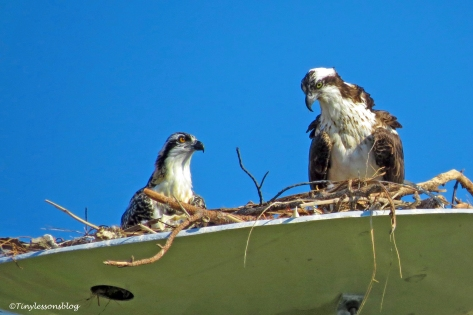 mama osprey and the chick ud160