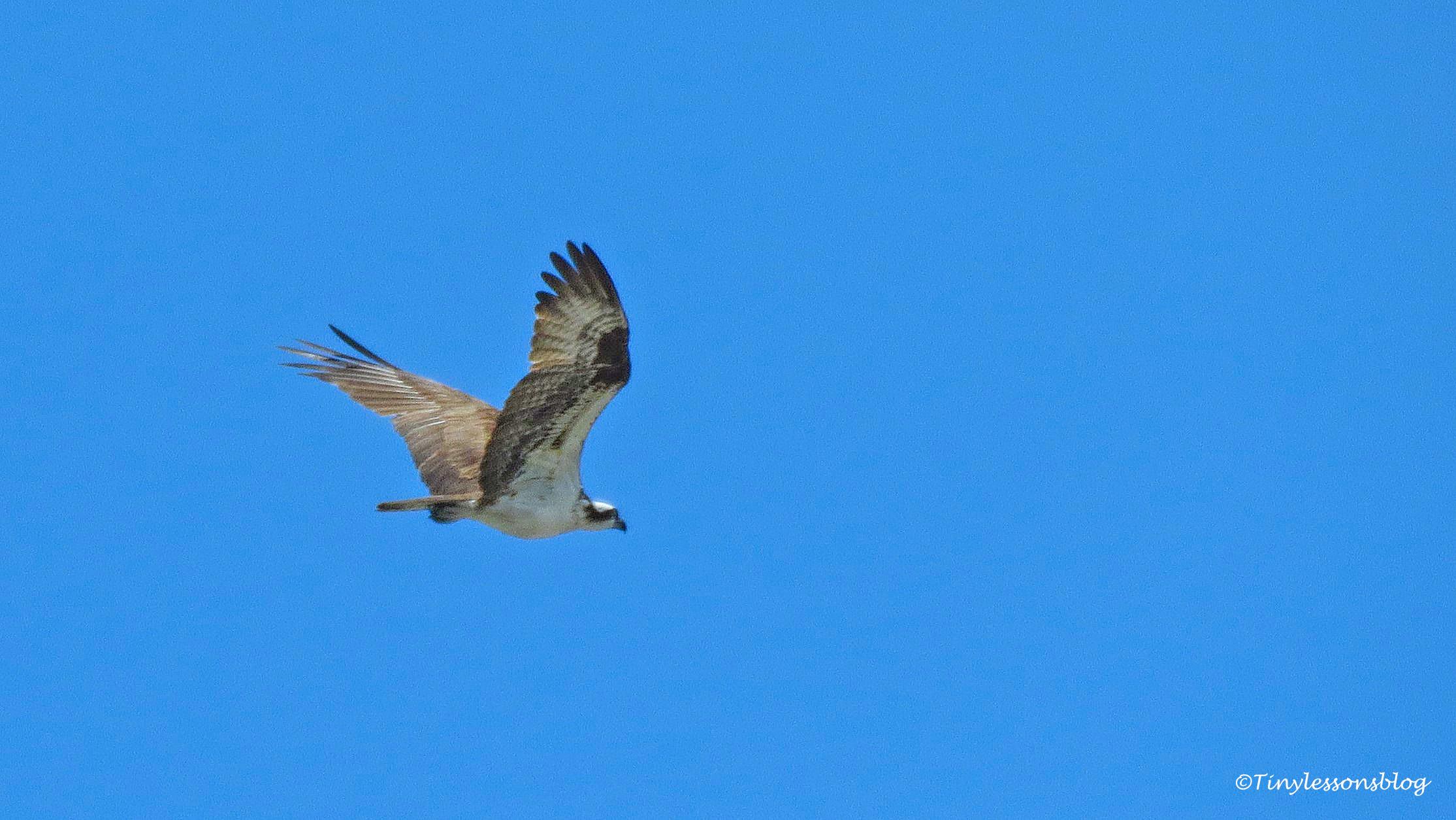 Mama Osprey chased an intruder ud161
