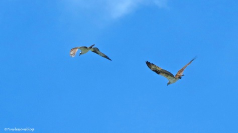 Mama Osprey chases a male osprey ud161
