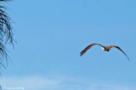 mama osprey flies away ud160