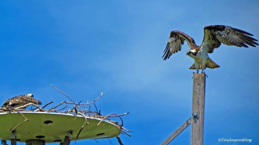 Mama osprey is back ud161