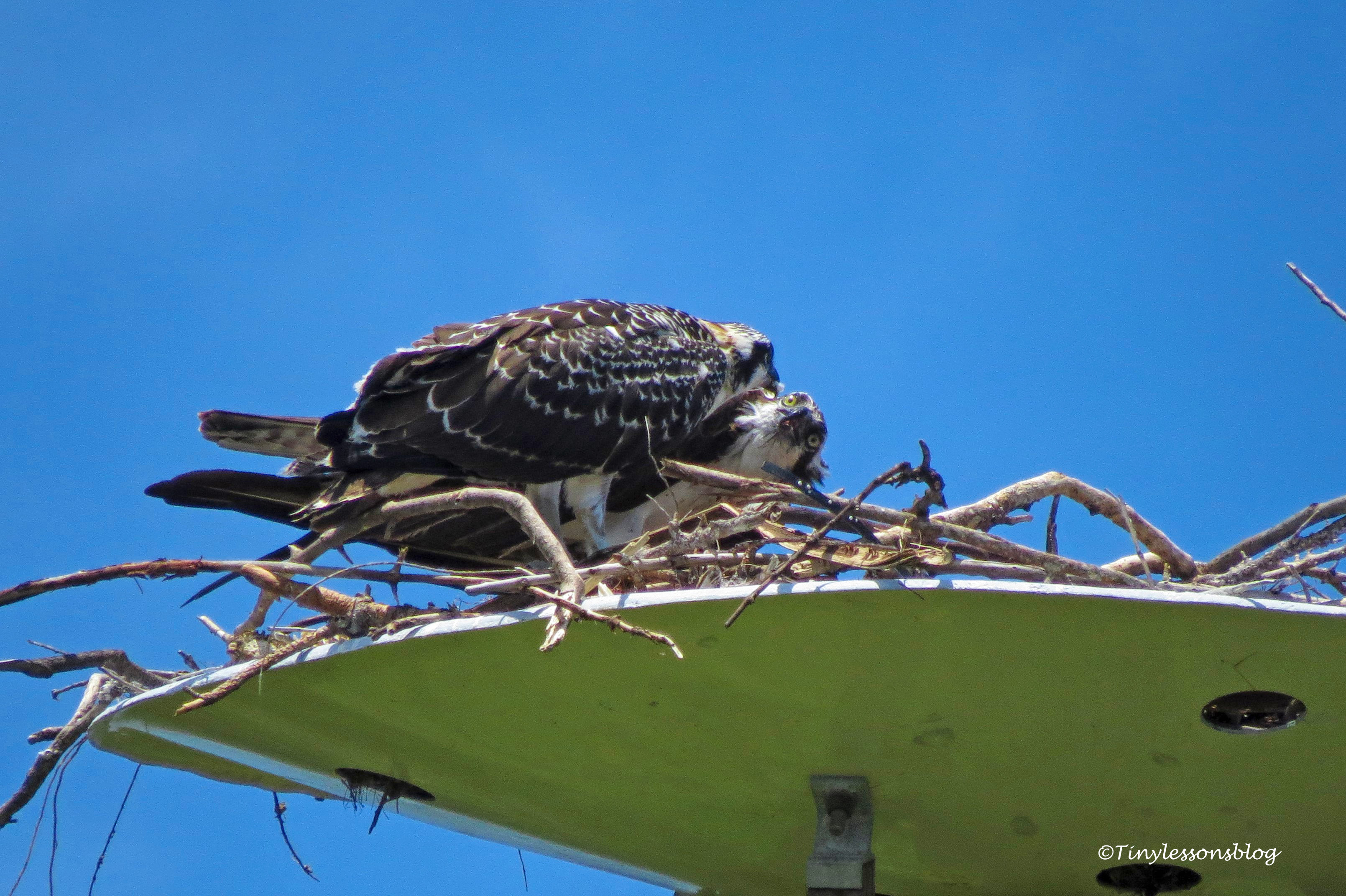 Mama osprey is feeding chick 2 ud161