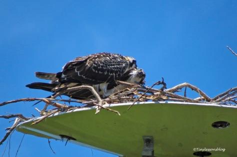 Mama osprey is feeding chick 2 ud161